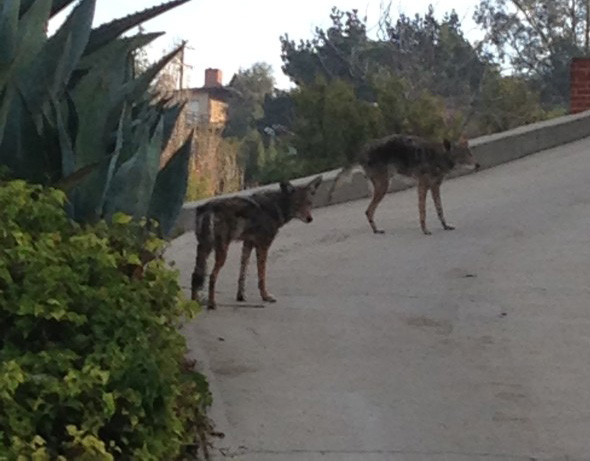 More Coyotes Seen in Los Feliz